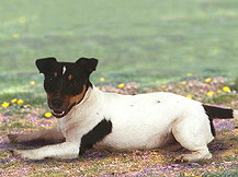Jack  (Parson ) Russell Terrier  Russell Terrier