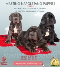 Mastino Napoletano puppies  from Santa House Feldman Breeding kennel 3 male for sale Продаются щенки Мастино Наполетано от Santa House Feldman, Неаполитанский Мастиф