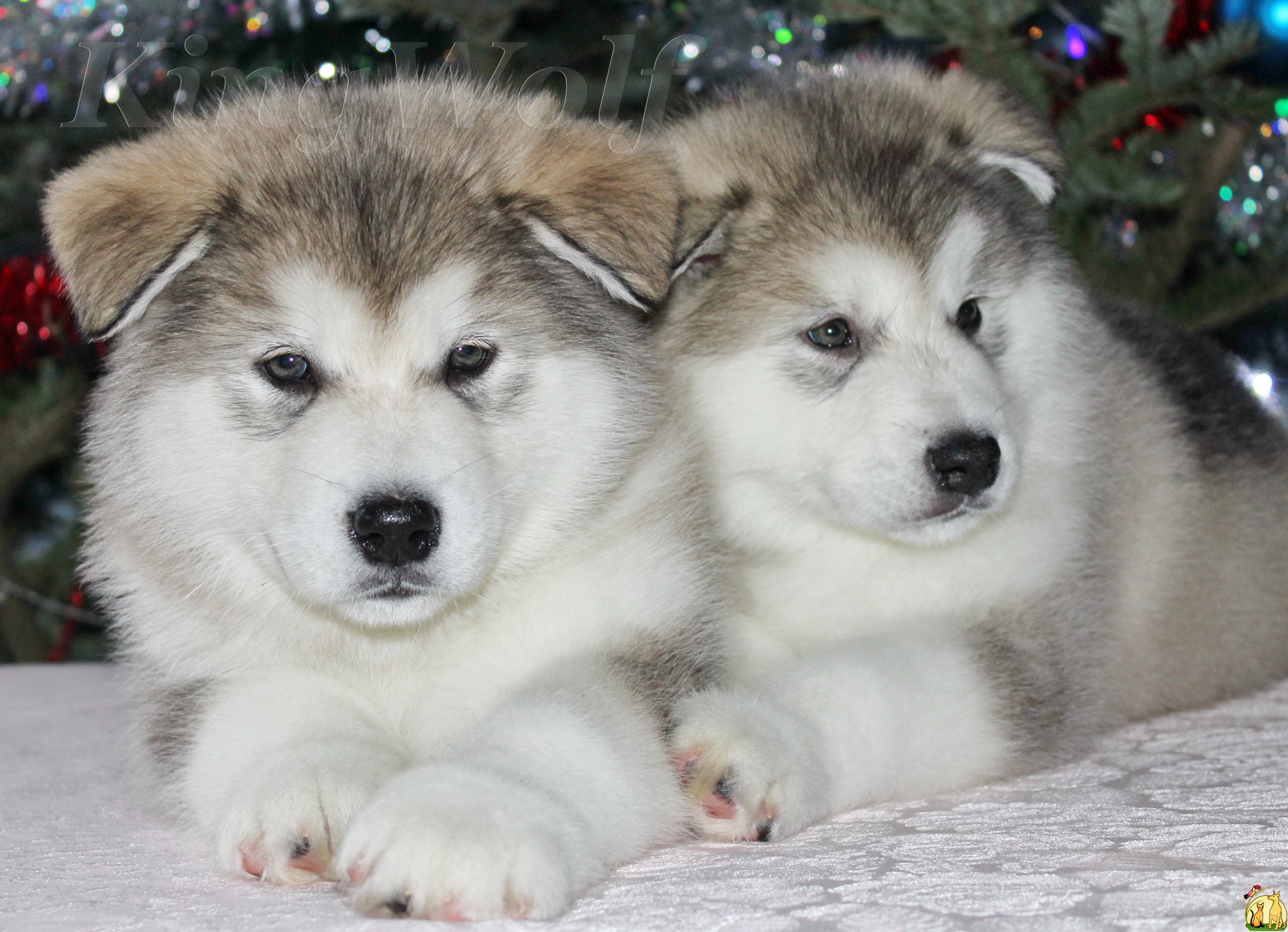 Alaskan Malamute Dog Breed Information and Pictures Alaskan malamute puppies photos