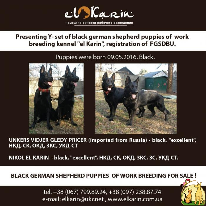 Black german shepherd puppies of work breeding, Немецкая Овчарка