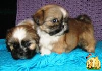 Best baby Shih-Tzu!!! Documentation!!!, Ши Тцу