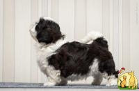 puppies Shih-Tzu 2 males., Ши Тцу