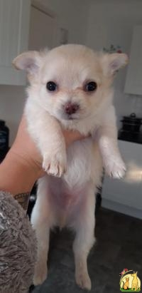 Long hair chihuahua puppy for sale, Чихуахуа