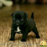 Adorable pug pups ready for new homes, Мопс