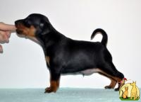 Zwergpinscher puppies (miniature pincher), Миниатюрный пинчер
