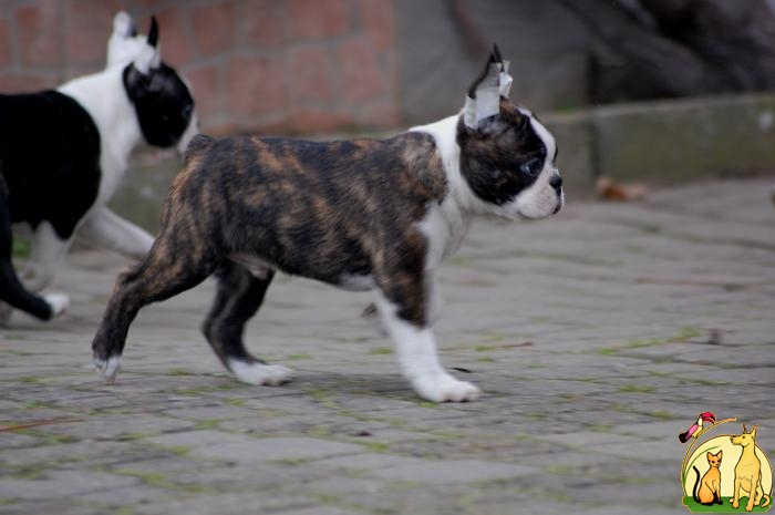 Boston terrier  puppies for sale., Бостон Терьер