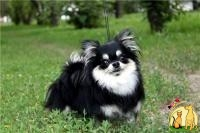 Chihuahua from Europe, Чихуахуа