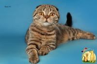 Котик Favorit, мраморный, Scottish fold, Скоттиш Фолд