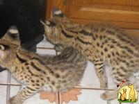 Egyptian Mau, F1-F5 Savannahs and African Serval kittens, Египетский Мау