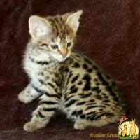 Amazing Savannah and Bengal Kittens Available, Азиатская кошка