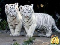 Beautifulll white tiger cubs with beautiful blue eyes, Тойгер
