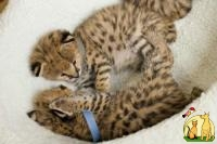 servals, caracal, bengal, ocelots cheetah and f1-f3 savannah kittens, Саванна