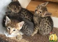 Adorable Serval and Savannah kittens F1-F4 available., Саванна
