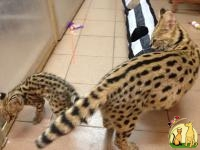 Cheetah cubs , Serval kittens , Caracal  and Ocelot kitten  for sale, Саванна