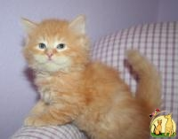 Siberian Kittens For sale.. Text Us: (360) 749-8123, Сибирская Кошка
