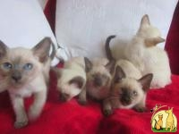 cute Siamese kittens for salea, Сиамская Кошка