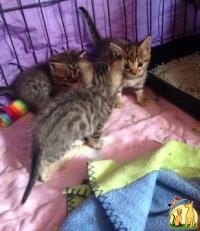 Well Socialized F1 and F2 Savannah Kittens Available, Саванна