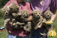 Well Tamed White Tiger Cubs , Cheetah Cubs ,panther Babies , Lion Cubs And Sheeps For Sale., Сибирская Кошка