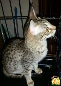 Bengal,Savannah Rare Blue Spotted, Саванна