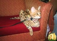 Lovely F2 Savannah Kittens Available, Саванна