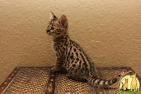 Top quality exotics kittens for offer, Саванна