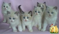 Lovely Ragdoll Kittens ready, Регдолл