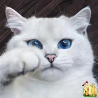Lovely exotic shorters cats White Tiger Cubs, Cheetah Cubs, kittens etc bangal catsAnd Sheeps For Sale, Бомбейская Кошка