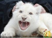 Lovely exotic shorters cats White Tiger Cubs, Cheetah Cubs, kittens etc bangal catsAnd Sheeps For Sale, Бурмилла Длинношерстная