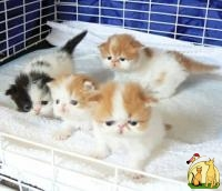 Blue and White and Van Red and white persian kittens Available, Персидская