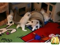 Lovely Ragdoll Kittens Available now, Регдолл