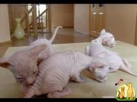 Cute Bold and Wrinkly Sphynx Kittens Available, Донской Сфинкс
