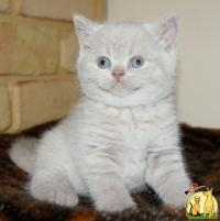 Lovely And, White Tiger Cubs, Cheetah Cubs, african serval For Sale, Манкс