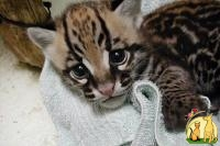 Available ocelot,servals,caracals For Sale (http://exoticcathouse.com/bird/serval-kittens), Оцикат