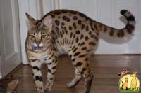 servals, caracal, bengal, ocelots cheetah and f1-f3 savannah – low cost, best quality, Саванна