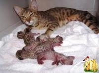 Beautiful Serval and F1 Savannah Kittens Available, Саванна