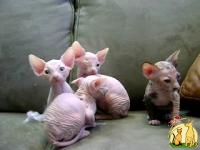 Cute Bold and Wrinkly Sphynx Kittens Available, Сфинкс