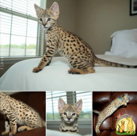 Healthy F1 Savannah Kittens For Sale, Саванна
