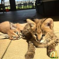 Serval, Savannah, Caracal and Ocelot kittens for sale, Саванна