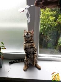 Adorable Bengal Kittens for Adoption, Бенгальская Кошка
