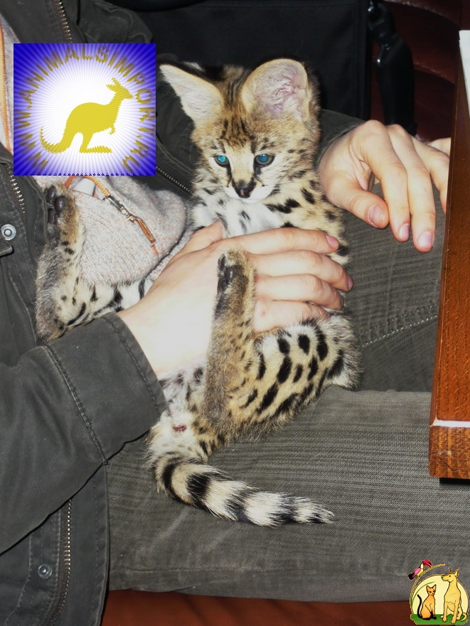 Продаю котят Сервала (Felis serval)  www.animalsimport.ru, Not_specified