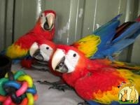 Healthy Tamed Parrots and eggs for sale, Not_specified