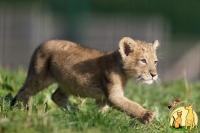 Healthy Cheetah Cubs & Lion Cubs & Tiger Cubs Available, Not_specified
