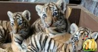 Tiger cubs, Not_specified