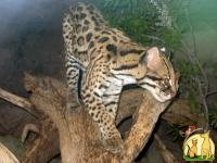 Ocelot , Caracal and Serval Kittens for sale, Not_specified
