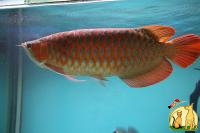 Asian Red, Super Red Arowana for sale and Others in Stock (760) 585-7652, Not_specified