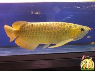 24k Golden Arowana Fish For Sale and Many Others (760) 585-7652, Not_specified
