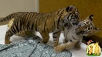 POTTY AND HOUSE TIGER CUBS AVAILABLE, Not_specified