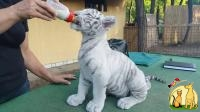 Home Trained White Tiger Cubs, Not_specified