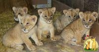 AWESOME LION CUBS FOR SALE, Not_specified