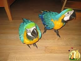 FERTILE MALE AND FEMALE PARROTS OF ALL KIND  FOR SALE, Not_specified